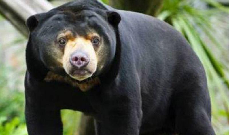 Beruang madu yang direhabilitasi di Mendalo sudah siap dilepasliarkan